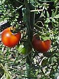 トマトがとれました